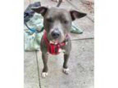 Adopt Annie a Pit Bull Terrier