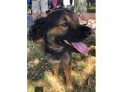 Adopt Gunner a Black - with Tan, Yellow or Fawn Spaniel (Unknown Type) / German