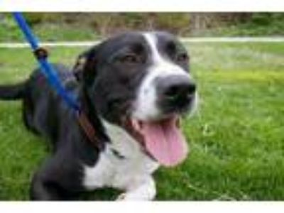 Adopt Missy a Border Collie, American Staffordshire Terrier