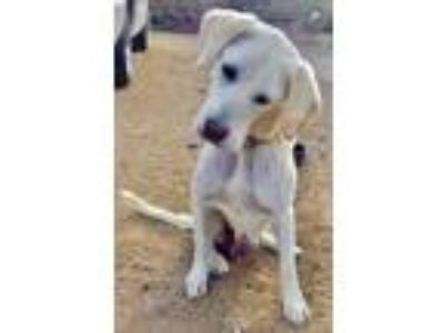 Adopt Layla a White - with Tan, Yellow or Fawn Labrador Retriever / Mixed dog in