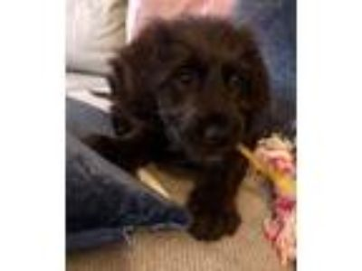 Adopt Charlie a Black Golden Retriever / Poodle (Standard) dog in Manhattan