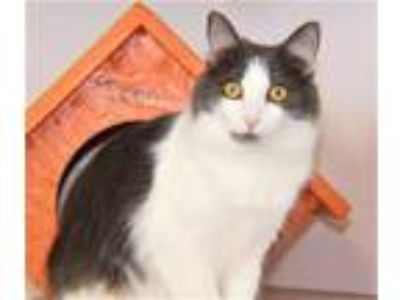 Adopt Brook a Domestic Long Hair