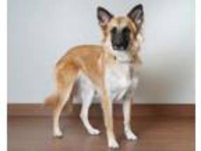 Adopt Cheyenne D181459 a German Shepherd Dog