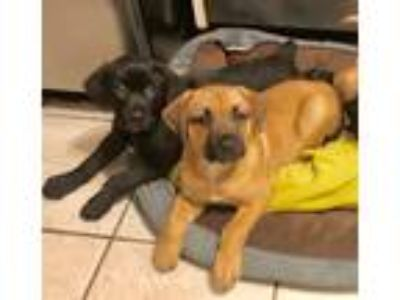 Adopt Labbies!! NY-Avail July 27th a Black Retriever (Unknown Type) / Mixed dog