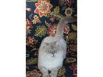 Adopt Blue a Tan or Fawn Tabby Persian / Mixed cat in Maylene, AL (23784006)