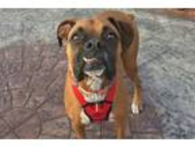 Adopt Benstella a Tan/Yellow/Fawn Boxer / Mixed dog in Hurst, TX (24778980)