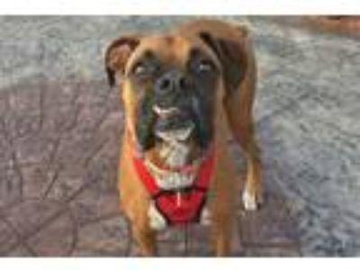 Adopt Benstella a Tan/Yellow/Fawn Boxer / Mixed dog in Hurst, TX (24778980)