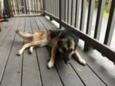 Adopt Luna a Brown/Chocolate - with Black German Shepherd Dog / Mixed dog in San