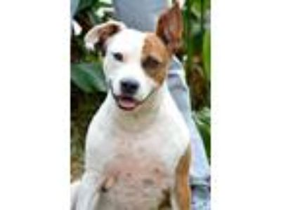 Adopt Bunny a Brindle - with White Beagle / Pit Bull Terrier / Mixed dog in