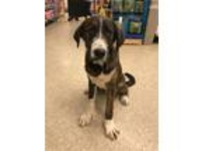 Adopt Billy a Cattle Dog, Saint Bernard