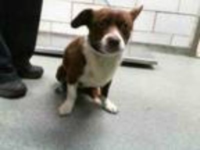 Adopt STRAY a Cardigan Welsh Corgi, Mixed Breed