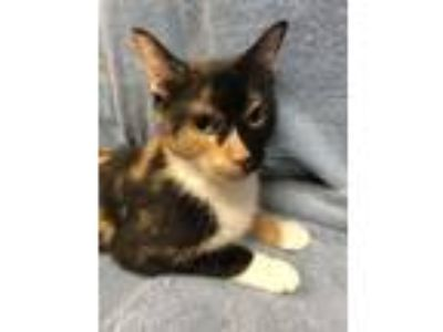 Adopt Imogene a Domestic Short Hair