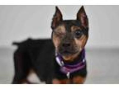 Adopt DEXTER a Miniature Pinscher, Mixed Breed