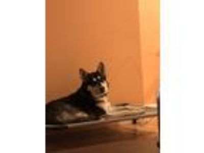 Adopt April a Black - with White Husky / Mixed dog in San Jose, CA (23779751)