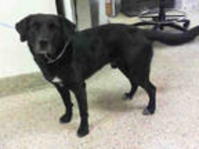 Adopt BLAKE a Black Labrador Retriever / Mixed dog in Doral, FL (24371140)