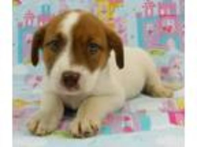 Adopt Elana a Beagle, Australian Cattle Dog / Blue Heeler
