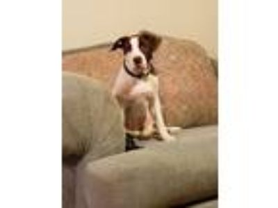 Adopt Loretto a Pit Bull Terrier