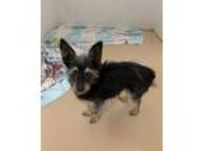Adopt Easton- Chino Hills a Yorkshire Terrier, Terrier