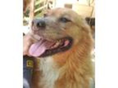 Adopt Ginger a German Shepherd Dog
