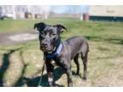 Adopt ONYX a Pit Bull Terrier