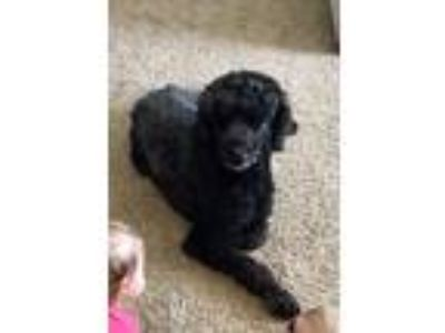 Adopt Percy a Black Poodle (Standard) dog in Woodburn, OR (25531291)