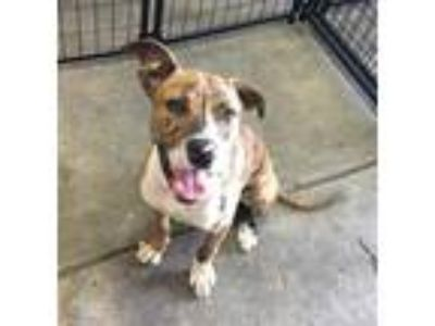 Adopt Craig a Pit Bull Terrier / Mixed dog in Birmingham, AL (25638084)