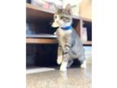 Adopt Jaden a All Black Domestic Shorthair / Domestic Shorthair / Mixed cat in