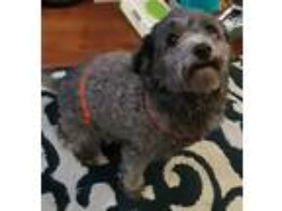 Adopt Callie a Gray/Blue/Silver/Salt & Pepper Poodle (Miniature) / Mixed dog in