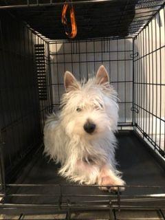 West Highland White Terrier PUPPY FOR SALE ADN-90270 - West Highland Terrier For Sale
