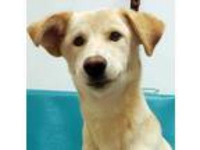 Adopt Katie a Tan/Yellow/Fawn Labrador Retriever / Husky / Mixed dog in Morton