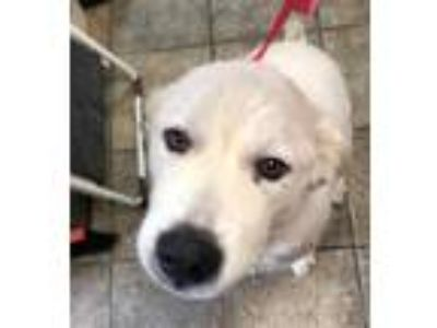 Adopt Stray a Great Pyrenees / Mixed dog in Highland Village, TX (25853765)