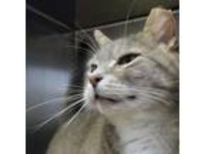 Adopt Boogie a Gray or Blue Domestic Shorthair / Domestic Shorthair / Mixed cat