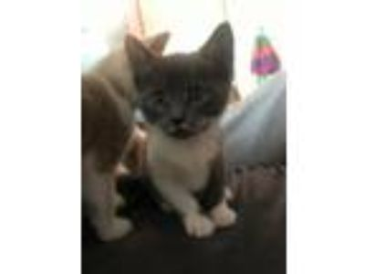 Adopt Moon KITTEN a Domestic Short Hair