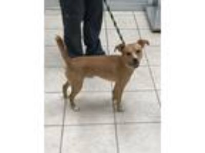 Adopt Roscoe a Terrier (Unknown Type, Medium) / Mixed dog in Birmingham