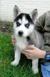 Blue Eyed Siberian Husky Puppies