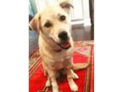 Adopt Ducky a Tan/Yellow/Fawn Husky / Labrador Retriever / Mixed dog in