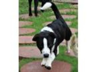 Adopt 190687 Jack a Black - with White Border Collie / Basset Hound / Mixed dog