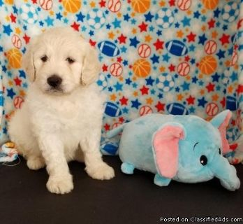 LDOAD M\F AKC Goldendoodle Puppies