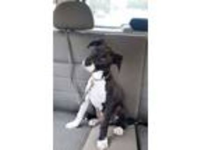 Adopt Kong a Black - with White Great Dane / Labrador Retriever / Mixed dog in