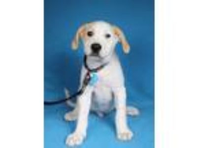 Adopt Fulton a Great Pyrenees
