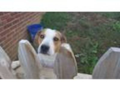 Adopt Jack a Tricolor (Tan/Brown & Black & White) Beagle / Jack Russell Terrier