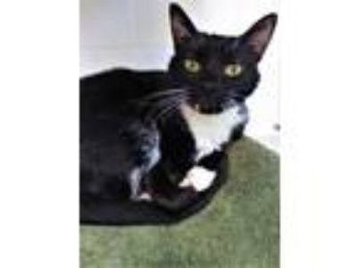 Adopt Pearlie a All Black Domestic Shorthair / Domestic Shorthair / Mixed cat in