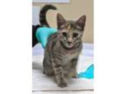 Adopt Bow Peep a Domestic Shorthair / Mixed cat in Oceanside, CA (25879995)