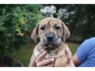 Adopt Bettie Boo a Brindle Mastiff / Shepherd (Unknown Type) / Mixed dog in