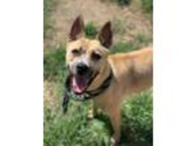 Adopt Bessy a Shepherd, Mixed Breed