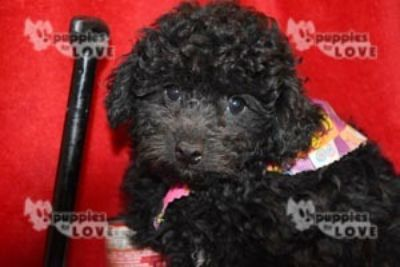 Poodle (Toy) PUPPY FOR SALE ADN-97795 - AKC  FULL REGISTRATION