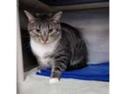 Adopt Leo The Ringleader (with Gamma) a Domestic Shorthair / Mixed cat in