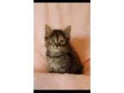 Adopt Piper a Maine Coon