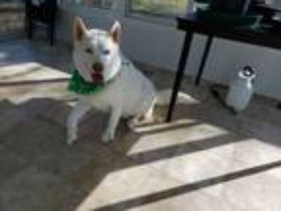 Adopt Stormie a White Husky dog in Aberdeen, MD (25266585)