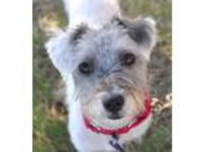 Adopt Einstein a White - with Gray or Silver Schnauzer (Miniature) / Terrier